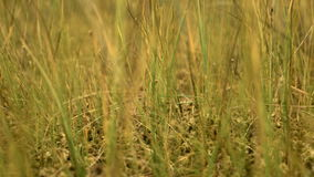 Grass in the national swamp reserve. Autumn daytime. Smooth dolly shot stock video