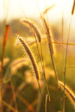 Grass Nature. Nature Grass in Summer Thailand Royalty Free Stock Photos