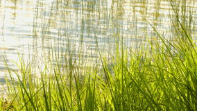 The grass near the lake shore. In water reflected stock footage