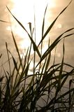 Grass near the river. With reflection of the Sun Royalty Free Stock Photos