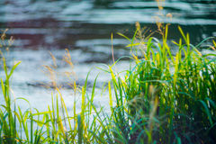 Grass near water Stock Photography