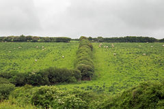 The Grass is not greener. Farm fields with sheep grazing separated by a hedgerow Royalty Free Stock Image