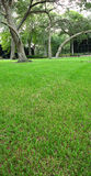 Grass and oak trees. This is a shot of the grass leading up to the oak trees royalty free stock photography