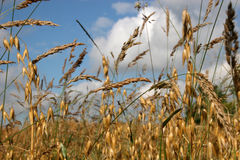 Grass and oats. Grass in oat field at harvest time Royalty Free Stock Photography