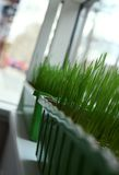 Grass in the office Royalty Free Stock Photo