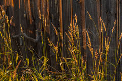 Grass and old wood in sunlight background. Wild grass and old wood in golden sunlight at sundown with selective focus Royalty Free Stock Image