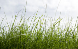 Grass On A Background Of The Sky Royalty Free Stock Image