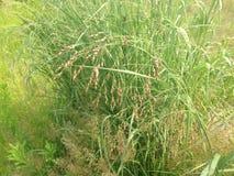 Grass with Orange Pollen. Stock Image