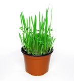 Grass in orange pot Royalty Free Stock Photography