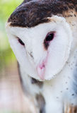 Grass Owl (Tyto capensis). Close up portrait in captivity Stock Photography