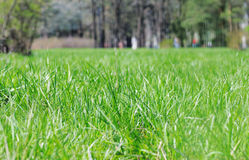 Grass in the park. Royalty Free Stock Photo