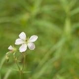 Grass of Parnassus stock photo