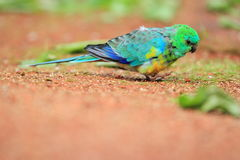 Grass parrot. The grass parrot standing in the soil Royalty Free Stock Images