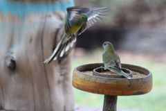 Grass Parrot Wings Outstretched. The grass parrots are landing to get some seed to eat from the seed tray in the garden. We feed these beautiful birds each day stock photography