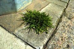 Grass patch through pavement crack Stock Photography