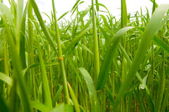 Grass and perfect blue sky Royalty Free Stock Image