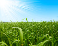 Grass and perfect blue sky Royalty Free Stock Images
