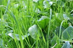 Grass. Photo of fresh green grass at the spring Stock Photography