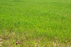 Grass. Photo of fresh green grass at the spring Royalty Free Stock Photo