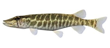Grass Pickerel. Fish isolated on white background Royalty Free Stock Images