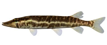 Grass Pickerel. Fish isolated on white background Stock Image