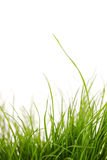 Grass plant. A grass plant isolated on white Royalty Free Stock Photos