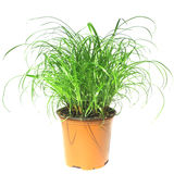 Grass plant Stock Images