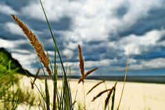 Grass plant Calammophila baltica growing on sandy beach at the Baltic sea shore. Dramatic stormy tempestuous sky on background. Stock Photo