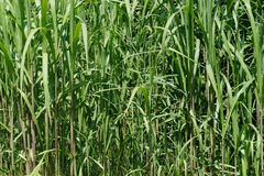 Grass, Plant, Crop, Grass Family royalty free stock image