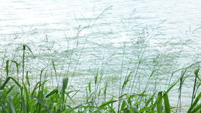 Grass plant moving in the wind at the river. Grass plant moving  in the wind at the river stock video footage