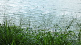 Grass plant moving in the wind at the river. Grass plant moving in the  wind at the river stock footage