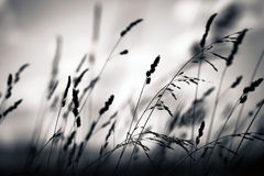 Grass plant silhouette Royalty Free Stock Photography