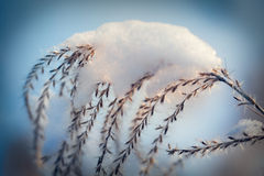 Grass plant in snow Stock Photos