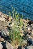 Grass plant. Tuft of grass growing among the stones at the waters edge Stock Photography