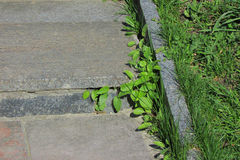 The grass on the plates. The first spring grass grows through the plates old stairs Stock Image