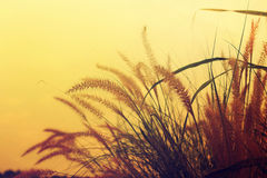 Grass Plumes. Grass with the Evening Sun Stock Photos