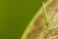 Grass poking through a dead leaf Stock Photography