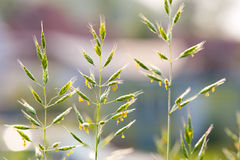 Grass with pollen Royalty Free Stock Images