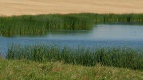 Grass Pond  stock video