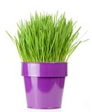 Grass pot Royalty Free Stock Images