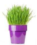 Grass pot. Catnip grass growing in metallic flower pot royalty free stock images
