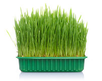 Grass in pot Stock Photography