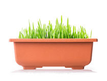 Grass pot Royalty Free Stock Photos