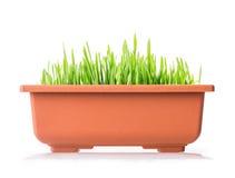 Grass pot Royalty Free Stock Photos