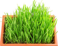 Grass pot Royalty Free Stock Photography