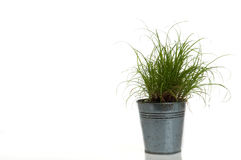 Grass in a pot on white. Background Royalty Free Stock Images