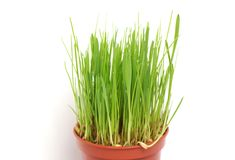 Grass in a pot on a white background royalty free stock images
