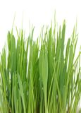 Grass in a pot on a white background stock image