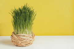 Grass pot on white board and a yellow background. Selective focus, toned image Royalty Free Stock Image
