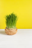 Grass pot on white board and a yellow background. Selective focus, toned image, film effect. Grass pot in sisal on a white board and a yellow background Stock Photos